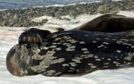 <h5>Antarctica-Weddell-Seal</h5>