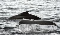 <h5>Antarctica-Humpbacks-D4S8927</h5>