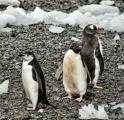 <h5>Antarctica-Penguins-D4S6408</h5>