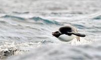 <h5>Penguin-Porpoise-D4S6210</h5>