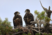 <h5>Bad-Eagle-Juveniles-D810088</h5>