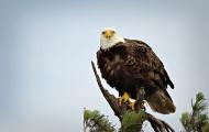 <h5>Bald-Eagle_D804064</h5>