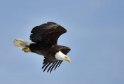 <h5>Bald-Eagle-NWT-D825466</h5>