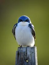 <h5>Blue-Bird-5S1208</h5>