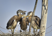 <h5>Blue-Heron-Chicks-D4S4351</h5>