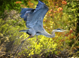 <h5>Blue-Heron-MV85720</h5>