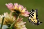 <h5>Butterfly-D4S3659CB</h5>