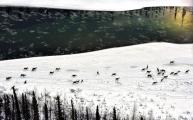 <h5>Caribou-migration-D810213</h5>