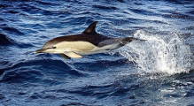 <h5>White sided Dolphin-D801184</h5>