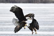<h5>Eagles-D5S9969</h5>