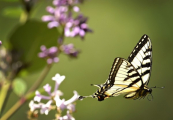 <h5>Eastern-Swallowtail-Butterfly-D4S7053</h5>