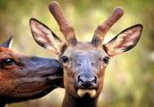 <h5>Elk-Photo-Bomb-875</h5>
