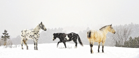 <h5>Horses-6317-Canadian-Wildlife.jpg</h5>