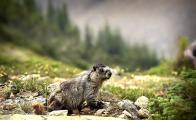 <h5>Hoary-Marmot-D4S9423</h5>