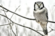 <h5>Northern-Hawk-Owl-012256</h5>