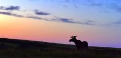 <h5>Newfoundland-Moose-D4S4692</h5>