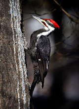 <h5>Pileated-Woodpecker-81038</h5>