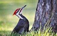 <h5>Pileated-Woodpecker-D5S2152</h5>