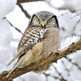 <h5>Northern-Hawk-Owl-D4S3215</h5>