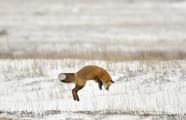 <h5>Red-fox-5009199</h5>