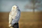 <h5>Snowy-Owl-0697</h5>