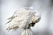 <h5>Snowy-Owl-D4S5381</h5>