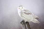 <h5>Snowy-Owl-3334-</h5>