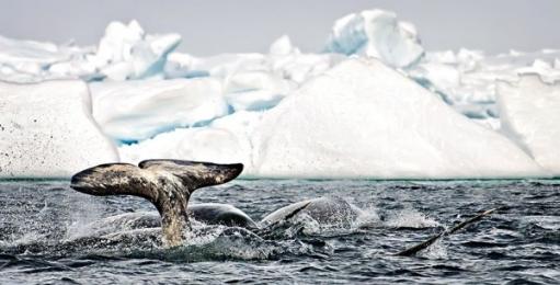 <h5>Arctic-Bay-Narwhal-V3X08</h5>