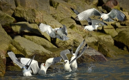 <h5>Black-Legged-Kittiwakes-with-Arctic-Cod_D4S1724</h5>