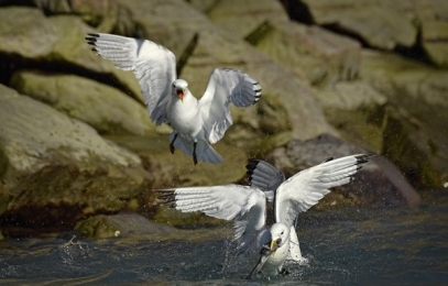 <h5>Black-Legged-Kittiwakes-with-Arctic-Cod-D4S1727</h5>