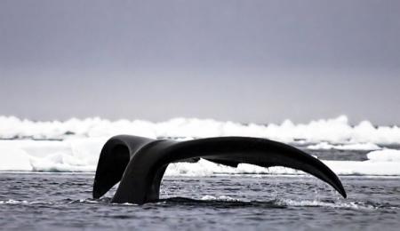 <h5>Bowhead-Whale_VII8380</h5>