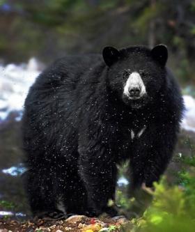 <h5>Nunavik-Black-Bear-46021</h5>
