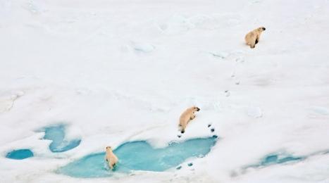 <h5>Polar-Bears-D4S1016-</h5>