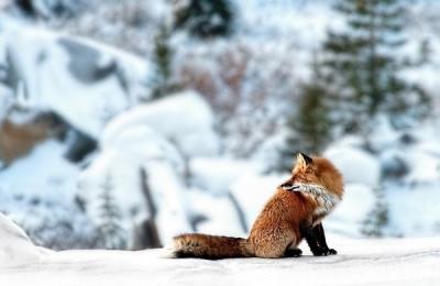 <h5>Red-Fox 1123</h5>
