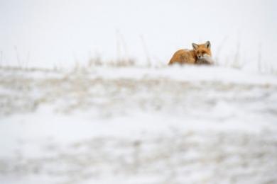 <h5>Red-Fox_D4S3977</h5>