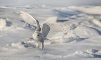 <h5>Snowy-Owl-5007023</h5>