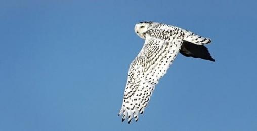 <h5>snowy-owl.</h5>