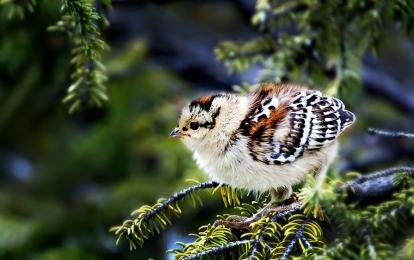 <h5>Spruce-Grouse-Chick-V3X0397</h5>