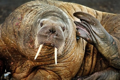 <h5>Walrus-6231</h5>
