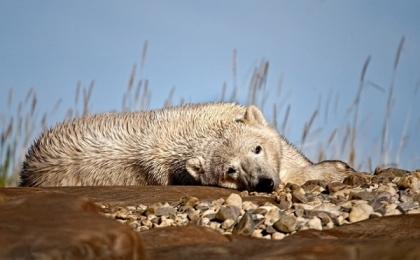 <h5>Summer-Polar-Bear_V3X0983</h5>