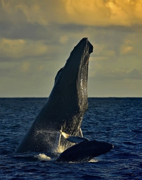 <h5>Silver-Bank-Humpbacks_D4S7961</h5>