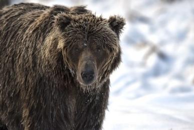 <h5>Ice-Bear-D4S6172</h5>