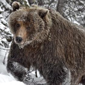 <h5>Ice-bear_D4S5466</h5>