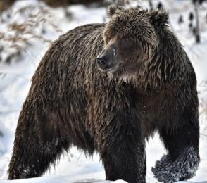 <h5>Ice-Bear-D4S6198b</h5>