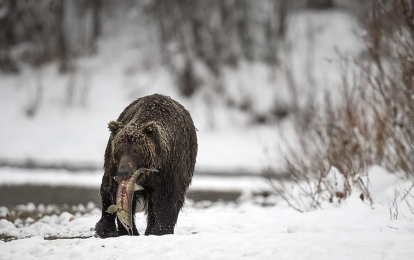 <h5>Ice-Grizzly-_D4S5574</h5>