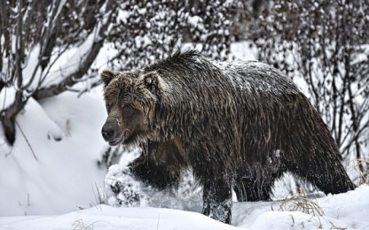 <h5>Ice-Grizzly-D8194151</h5>