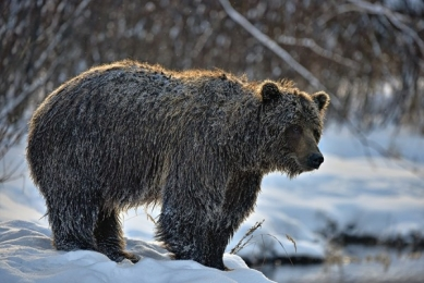 <h5>Ice-Grizzly-D819558</h5>