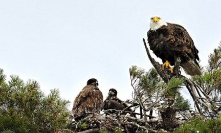 <h5>Bald-Eagle-Family-D810040-Canadian-Wildlife-e1451966411260.jpg</h5>
