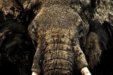 <h5>Masai-Elephant-VAL1052-e1451965277623.jpg</h5>