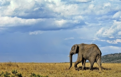 <h5>Masai-Elephant-VAL0243-e1451965286490.jpg</h5>